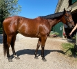 Lovely 7 year old TB for sale